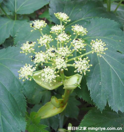 アシタバの花序(明日叶的花)